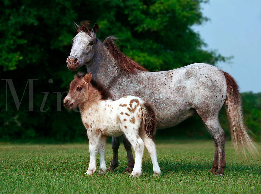 Appaloosa mare and foal.