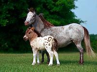 Appaloosa mare and foal.