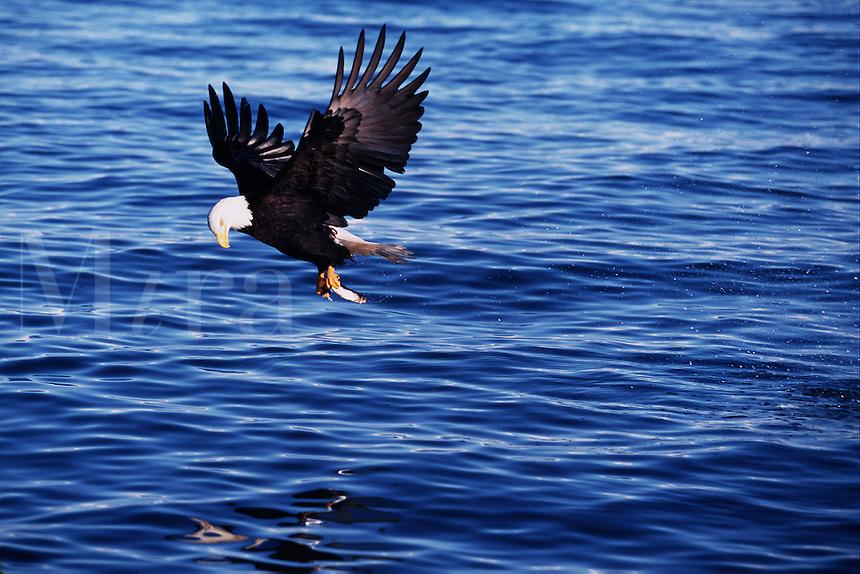 A Bald eagle (Haliaeetus leucocephalus) makes a successful catch of fish while in flight.