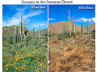 Spring and summer seasons in the Sonoran Desert of Arizona, same location on March, 2005 and June, 2005, White Tank Mountains Regional Park, near Phoenix, Arizona, AGPix_0533..