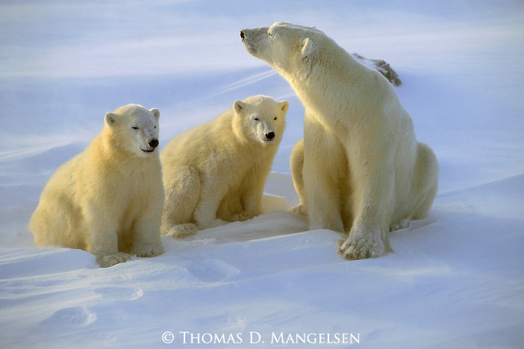 A polar bear and cubs prepare to bed down for the night in Wapusk National Park, Manitoba, Canada.
