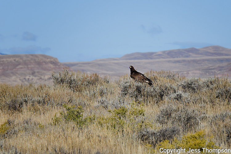 Golden Eagle, McCullough Peaks Horse Range