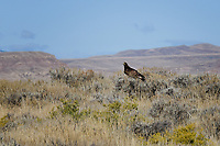 Golden Eagle, McCullough Peaks Horse Range