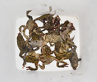 Dead toads and frogs collected by volunteers at one of Britain's many toad patrols undertaken at known crossing sites in early spring.