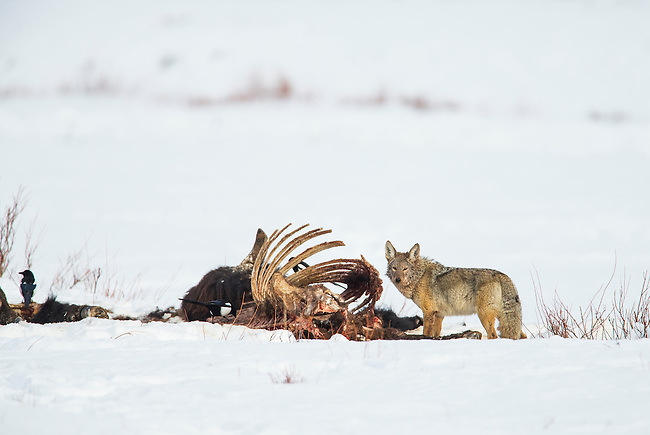 A coyote feeds on an old bison carcass along Soda Butte Creek in Yellowstone National Park in Wyoming, USA, on Feb 11th 2015.  Photo by Gus Curtis.