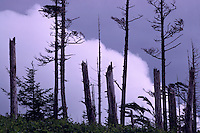 Haida Gwaii (Queen Charlotte Islands), Northern BC, British Columbia, Canada - Trees broken and damaged by Wind Storm, Graham Island