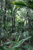 Native Nikau Palm forest near Karamea, Kahurangi National Park, West Coast, Buller Region, South Island, New Zealand, NZ
