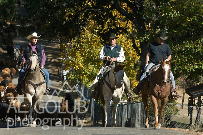 Greeley Hill, California October 21, 2008.Cattle drive from Kassabuam meadow  across Highway 120 over  Wagner Ridge down Cuneo Road then through Haig's ranch across Highway 49 to Penon Blanco Road.   Erickson Cattle Co. cowboys driving down from high country.  ..Photo by Al Golub/Golub Photography