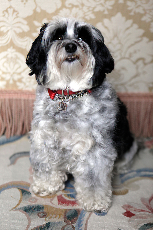 A Havanese named Bandit belonging to Ellen Crown poses for a portrait in her apartment on the Upper East Side of Manhattan on April 5, 2011. ..Danny Ghitis for The New York Times