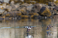 Male and female pair of bufflehead ducks take flight over the waters of Prince William Sound, southcentral, Alaska.