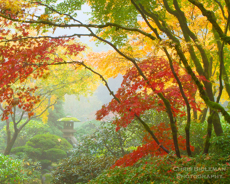 Harp tuner (koto-ji) lantern is shrouded in fog and the fall colors of red and yellow of the japanese maples with their sweeping branches in the Portland Japanese Garden