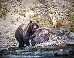 An immature bald eagle flies in front of a grizzly bear in Yellowstone.