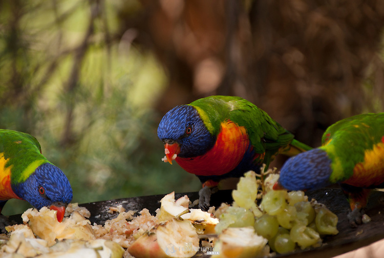 Rainbow lorikeets at a birdfeeder in an aviary at the Wagga Zoo.