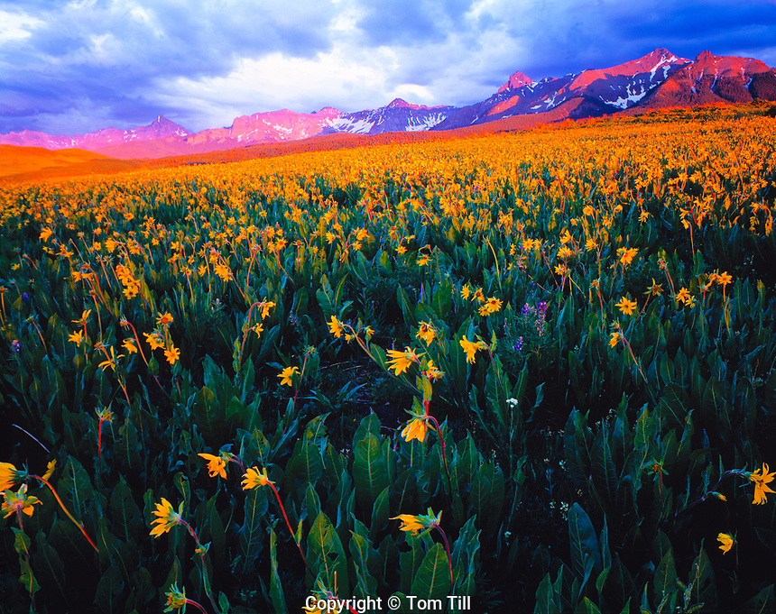Meadow of Mule Ear Flowers, San Juan Mountains, Colorado