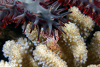 This female spotted guard crab, Trapezia tigrina, is carrying eggs and is pinching the tube feet of a crown-of-thorns sea star in defense of its  cauliflower coral, Pocillopora meandrina, home, Hawaii.