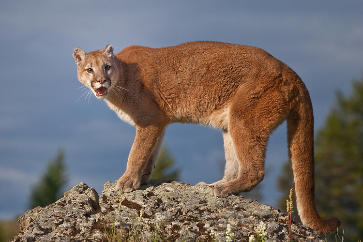 Mountain Lion snarling on top of a ricky cliff - CA