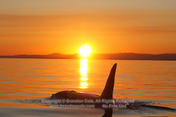 qd50226-D. Orca (Orcinus orca), adult male at sunset. Also called Killer Whale. Pacific Northwest..Photo Copyright © Brandon Cole. All rights reserved worldwide.  www.brandoncole.com..This photo is NOT free. It is NOT in the public domain. This photo is a Copyrighted Work, registered with the US Copyright Office. .Rights to reproduction of photograph granted only upon payment in full of agreed upon licensing fee. Any use of this photo prior to such payment is an infringement of copyright and punishable by fines up to  $150,000 USD...Brandon Cole.MARINE PHOTOGRAPHY.http://www.brandoncole.com.email: brandoncole@msn.com.4917 N. Boeing Rd..Spokane Valley, WA  99206  USA.tel: 509-535-3489