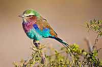 Closeup of Lilac Breasted Roller with its colorful plumage perched on an acacia tree in the Masai Mara Reserve, Kenya, Africa (photo by Wildlife Photographer Matt Considine)