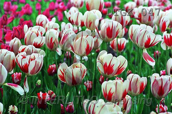 Gisela, FLOWERS, photos(DTGK047,#F#) Blumen, flores, retrato
