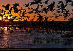 Snow Geese, Sunrise Silhouette, Bosque del Apache Wildlife Refuge, New Mexico