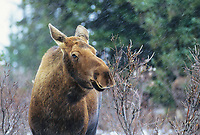 Cow moose in winter boreal forest, Denali National Park, Alaska.