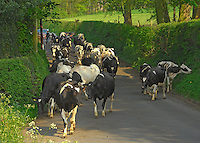The Loudbank herd of pedigree Holstein dairy cows on their way in for milking at H. E. Airey and Sons' Thornley Hall, Thornley, Longridge, Lancashire. The 190 strong herd have been out for two days, 10 days later than last year.
