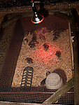 Chicks under heat lamp<br />