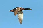 Mallard Drake in Fligh
