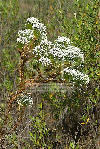 Mato Grosso, Brazil. Semprevivas (Eriocaulaceae), everlasting flowering cerrados plants.