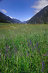 Meadow sage, spring flowers and grass in Alpine meadow, Imst district, Austria.