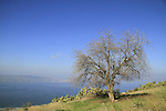 Golan Heights, Atlantic Pistachio tree overlooking the Sea of Galilee at Kfar Haruv