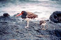 American oystercatcher and chick Haematopus ostralegus. Isla Santiago, Galapagos Islands, Ecuador, Pacific Ocean