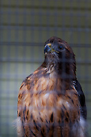 A Red-tailed hawk, photographed through the mesh of its enclosure at the Sulphur Creek Nature Center where injured wildlife are treated and, when possible, returned to the wild.