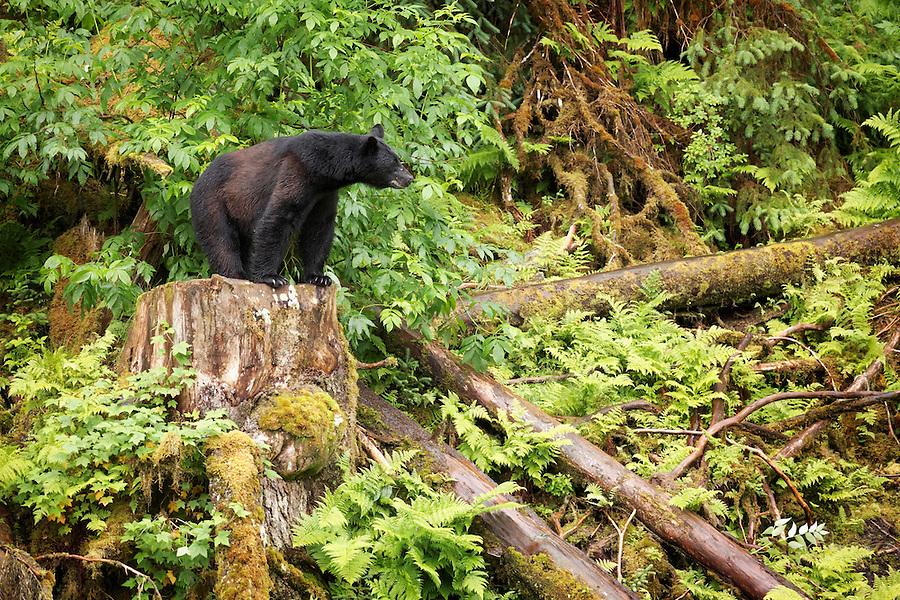Male black bear standing on stump, Anan Wildlife Observatory, Tongass National Forest, Southeast, Alaska