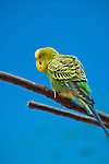 Woodland Park and Zoo, Seattle, WA. Budgerigar, budgie Australian parrot.
