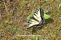 03023-02608 Eastern Tiger Swallowtail (Papilio glaucus) on ground, Great Smoky Mountains NP, TN