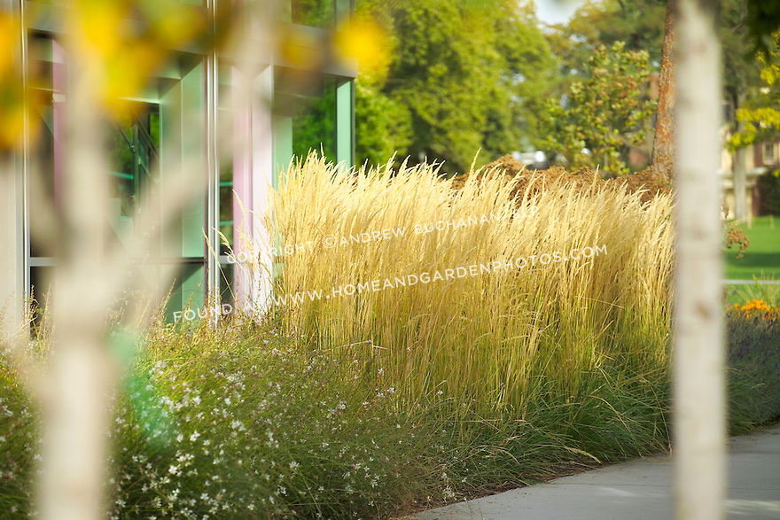 The autumn seed heads of tall, ornamental grasses sway in the late afternoon sunlight outside of a glass-walled building on a college campus.