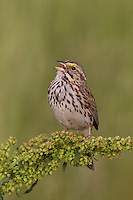 Savannah Sparrow (Passerculus sandwichensis mediogriseus), Eastern subspecies, singing on it's breeding territory in a protected grassland along Cowperthwaite Road in Bedminster, New Jersey.