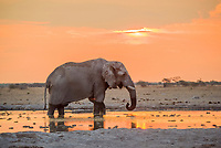 African elephant (Loxodonta africana) drinks at sunset at a waterhole, Nxai Pan National Park, Ngamiland District, Botswana, Africa