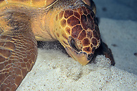Loggerhead turtle, Caretta caretta, feeding on the bottom, Stetson Bank off the Texas, USA, Gulf of Mexico, Atlantic Ocean