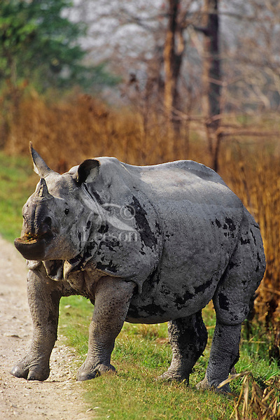 Greater Indian Rhinoceros or Asian One-horned Rhinoceros (Rhinoceros unicornis)bull, Kaziranga National Park, India.