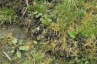 Wühlmaus Gang, Wühlmaus Gänge auf einer Wiese, Rasen