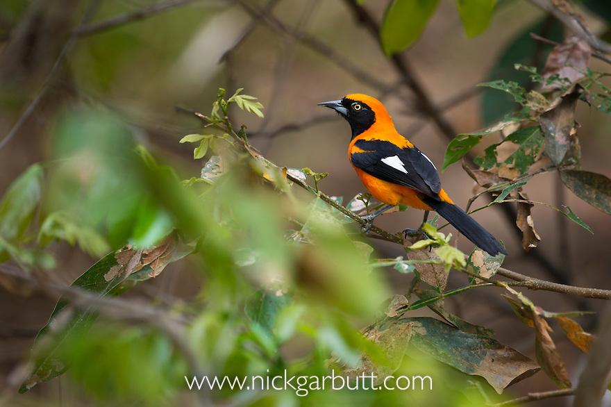 Orange-backed Troupial (Icterus croconotus)  (Family Icteridae) in bank-side vegetation on the edge of the Piquiri River, Pantanal, Brasil.
