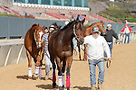 A few horses being taken on a walk before the races start at Oaklawn Park on the opening day. (Justin Manning/Eclipse Sportswire)