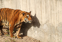 Stock image of tiger standing silently near the zoo wall.
