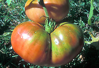 Brandywine tomatoes, antique heirloom beefsteak variety growing, with pink flushed skin