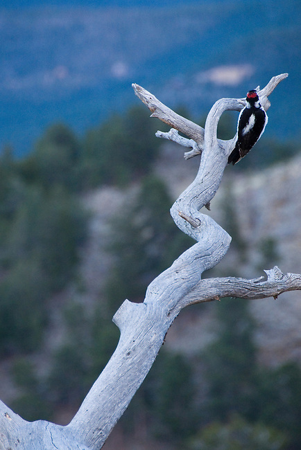 Hairy woodpecker, Picoides villosus, bird, wildlife, nature, pine snag, overcast, evening, Rocky Mountains Colorado, USA