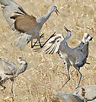 Sandhill Cranes (Grus canandensis) tussle while feeding at the Bosque del Apache National Wildlife Refuge, near Socorro, New Mexico.