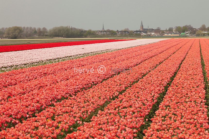 """Hollande, région des champs de fleurs, Lisse, champs de tulipes et la ville de Lisse au loin // Holland, """"Dune and Bulb Region"""" in April, Lisse, here, fields of tulips and the town of Lisse away."""