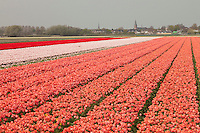 "Hollande, région des champs de fleurs, Lisse, champs de tulipes et la ville de Lisse au loin // Holland, ""Dune and Bulb Region"" in April, Lisse, here, fields of tulips and the town of Lisse away."